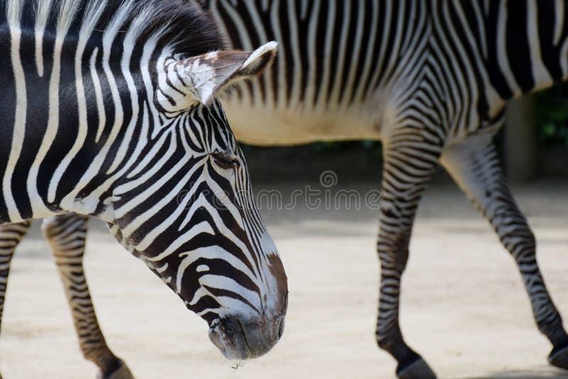 Grevy ` s Zebras στοκ εικόνες
