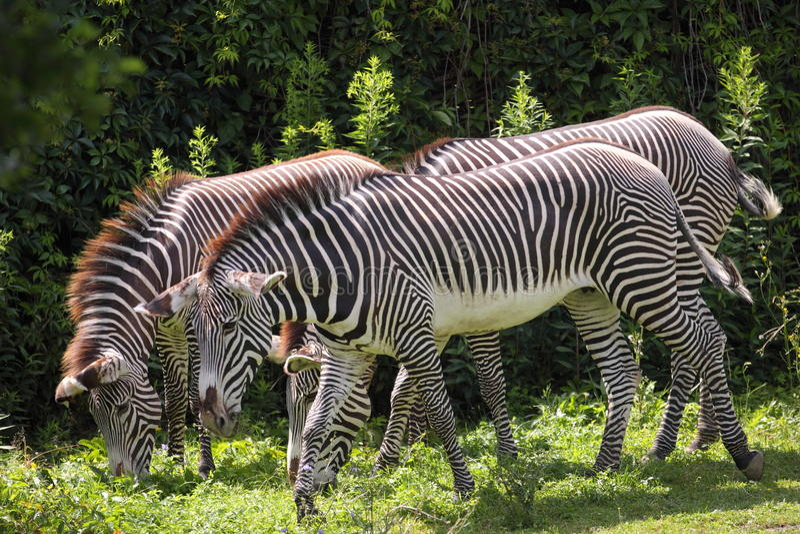 Grevy's zebras royalty free stock photo