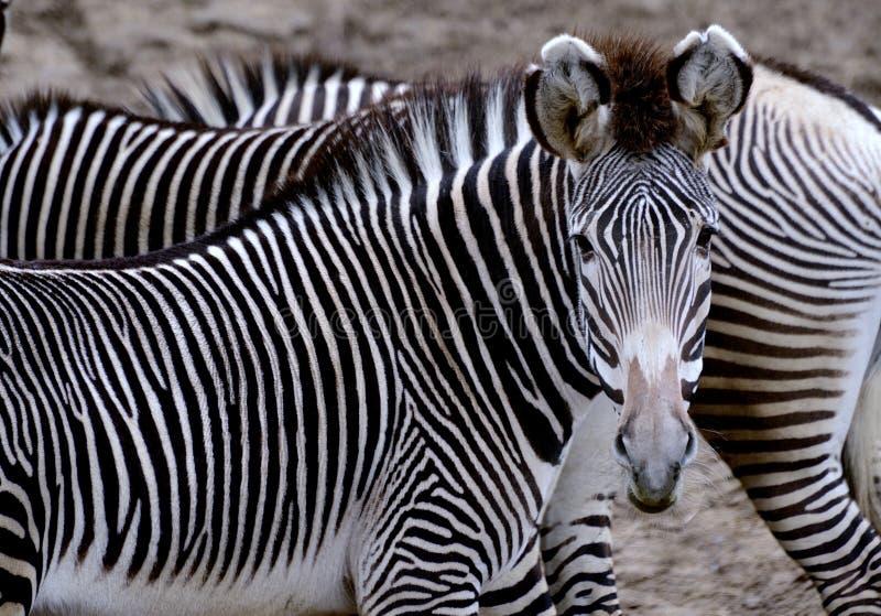 Grevy zebra zdjęcia stock