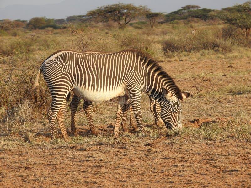 Grevy Zebra stock images