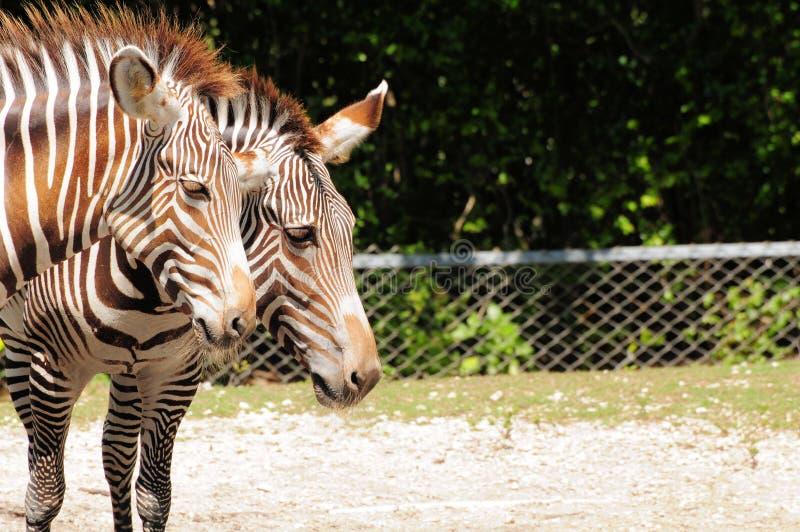 grevy zebras του s στοκ εικόνες με δικαίωμα ελεύθερης χρήσης