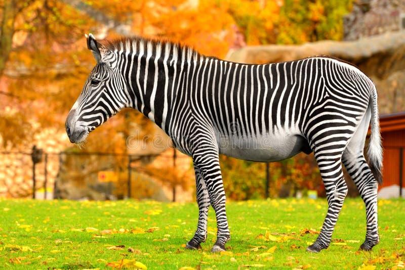 Grevyi d'Equus de zèbre de Grevy, également connu sous le nom de zèbre impérial en été indien de la Saint-Martin photographie stock libre de droits