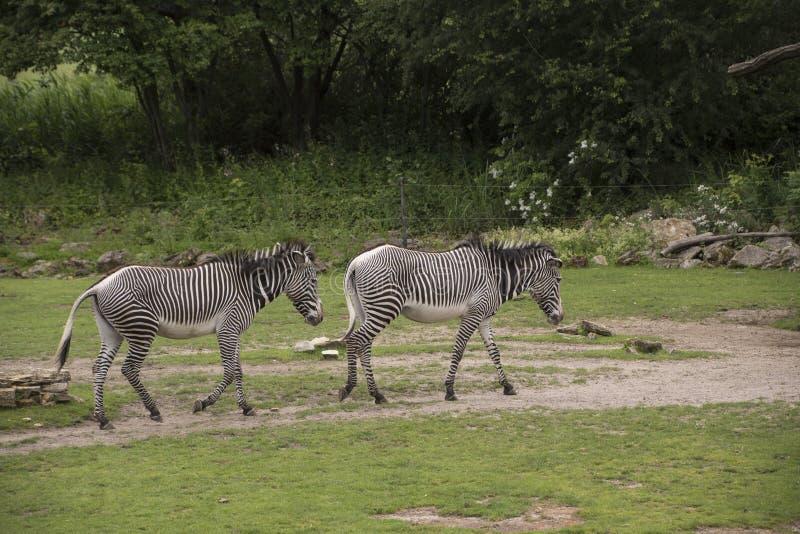 Grevyi Equus zebras Grevy ` s ή αυτοκρατορικά zebras στοκ εικόνες με δικαίωμα ελεύθερης χρήσης