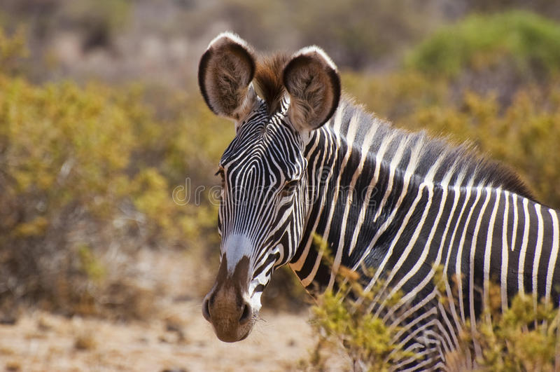 Grevys zebra close up headshot stock image