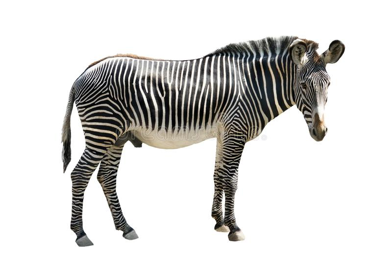 Zebra isolated on white. Grevys zebra Cquus grevyi isolated on white background royalty free stock photos