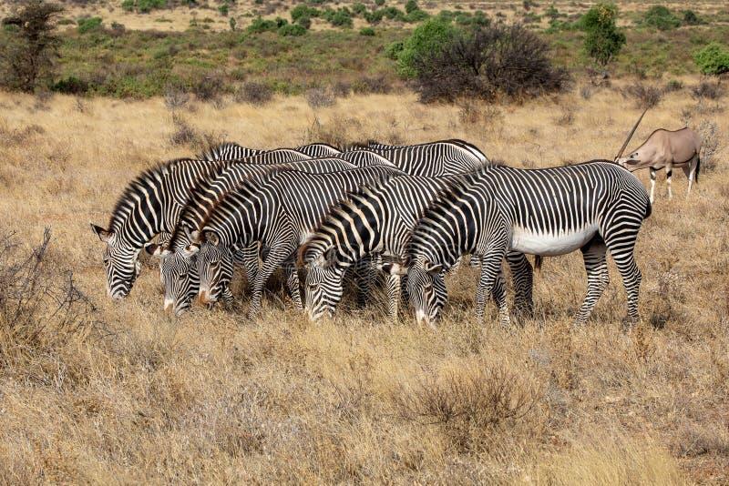 Grevyzebrastellung in einer Linie in Kenia, Afrika lizenzfreie stockfotografie