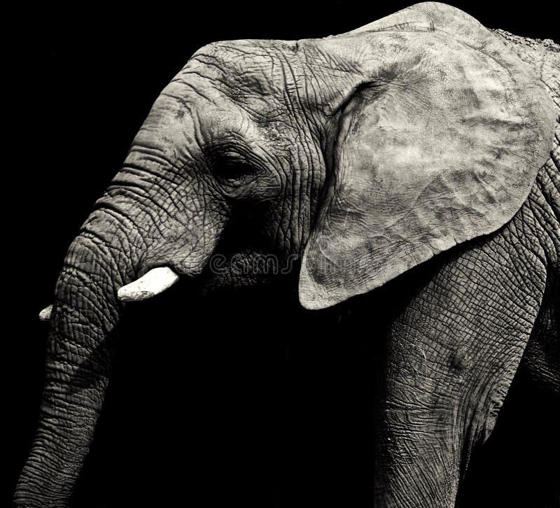 Grey African-Elefant stockfotos