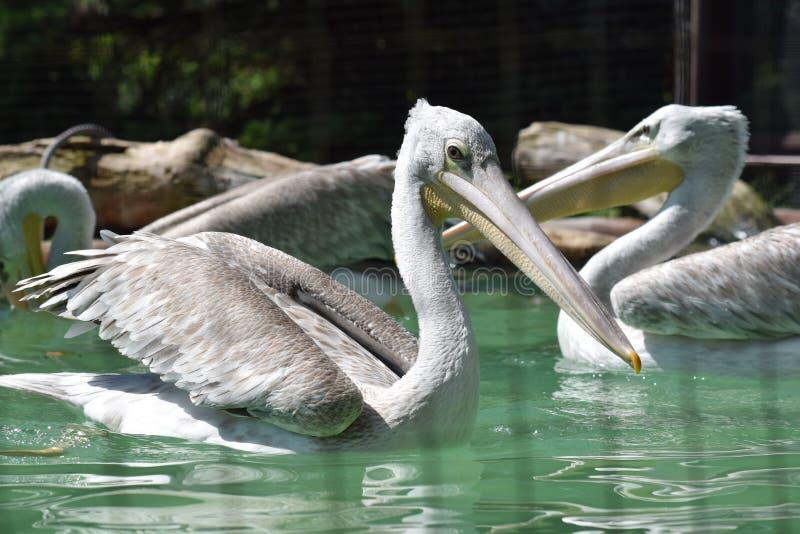 Grey African Pelican Pelecanus Rufescens nageant sur l'étang photo stock