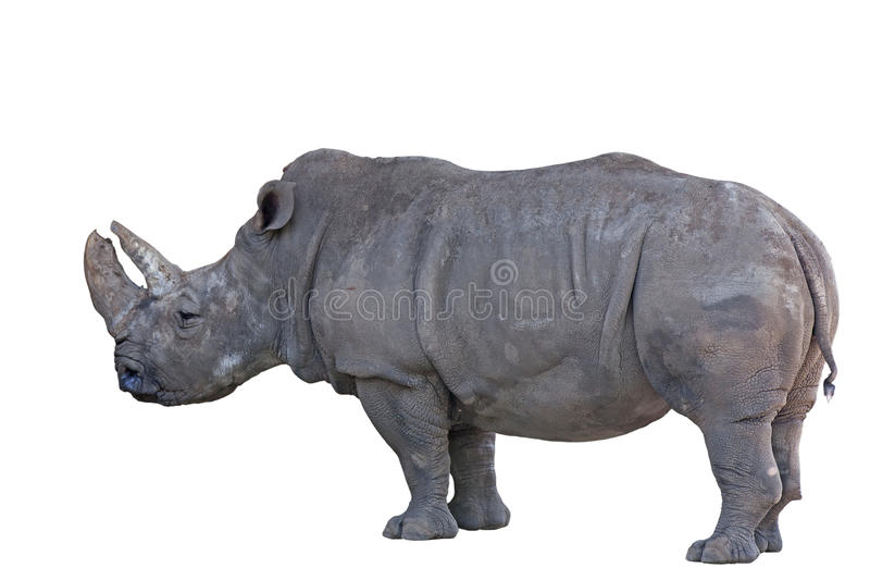 Grey african rhino isolated on white stock photos