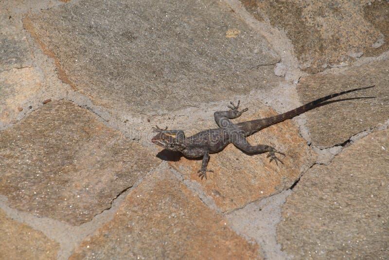 Grey Agama ödla på det beigea golvet, Benguela fotografering för bildbyråer