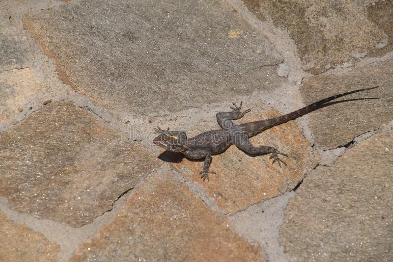 Grey Agama lizard on beige floor, Benguela stock image
