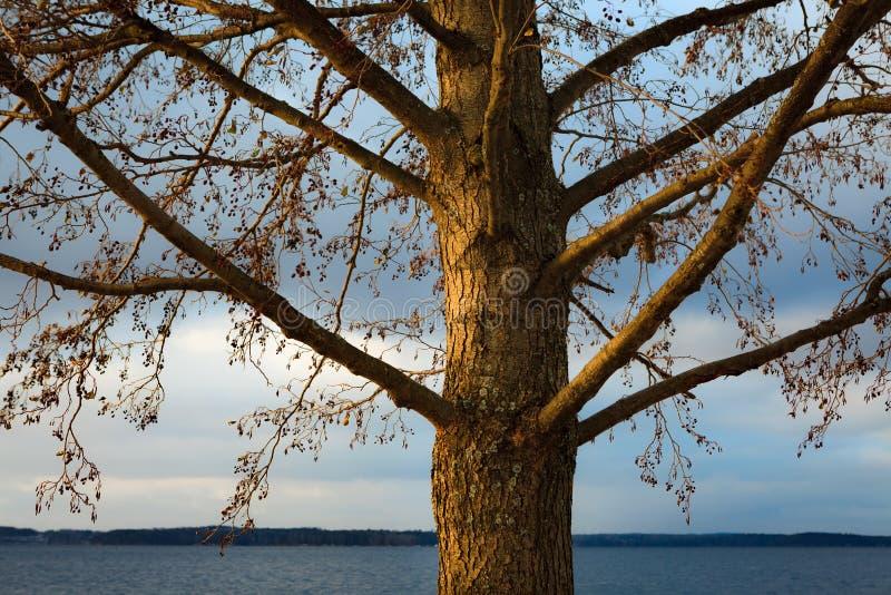 Grey alder Alnus Incana at winter. Near lake royalty free stock photography