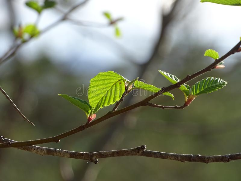 The grey alder or speckled alder. In the photo are boughs of the grey alder or speckled alder. Photo was made in the spring stock images