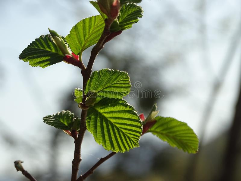 The grey alder or speckled alder. In the photo are boughs of the grey alder or speckled alder. Photo was made in the spring royalty free stock photos