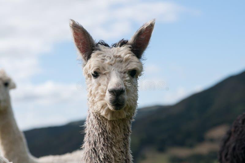 Grey Alpaca foto de archivo