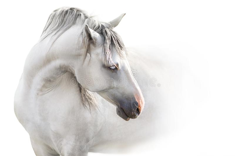 Grey andalusian horse isolated stock photo