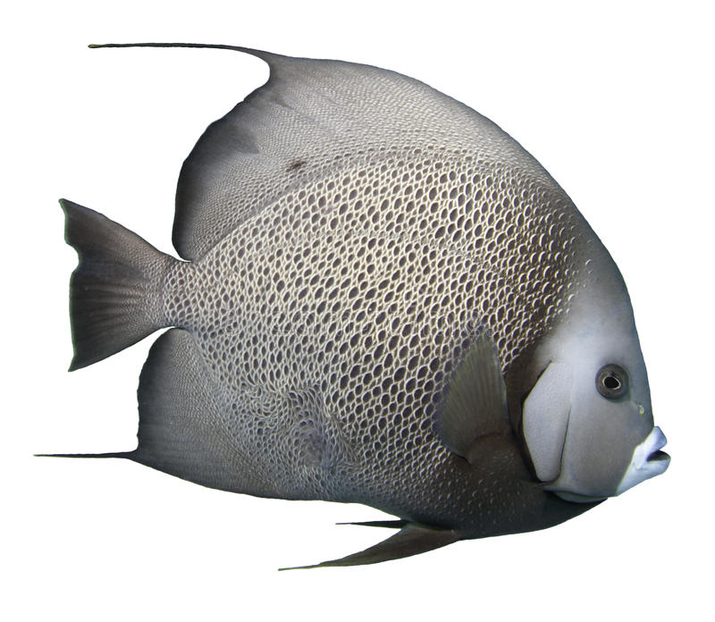 Grey Angelfish - d'isolement photo stock
