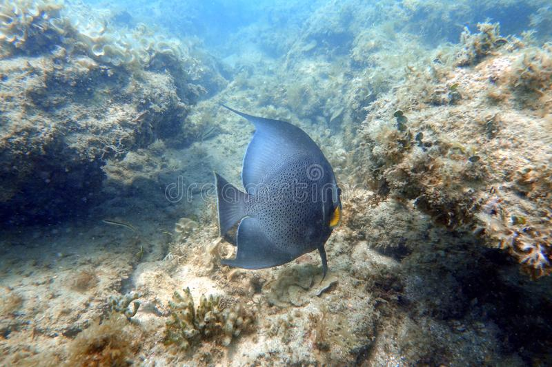 Grey Angelfish swimming in the ocean stock photography