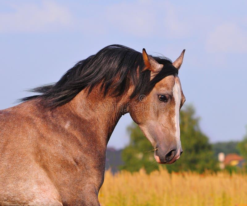 Grey arab horse portrait in motion stock photo