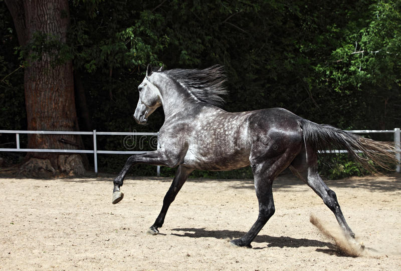 Grey arab horse runs free royalty free stock photos