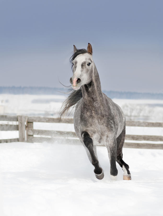 Grey arab horse runs free in winter snowy field royalty free stock photos