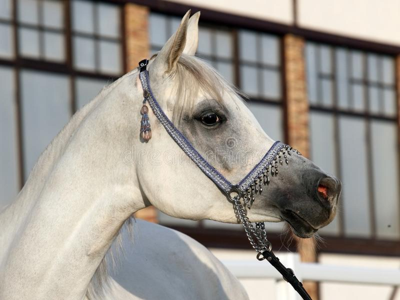 Grey Arab Horse, stallion. Beauty Grey Arab Horse, stallion, with a show headcolla stock images