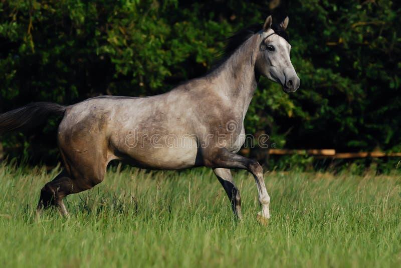 Grey arabian horse. Beautiful gentle grey arabian horse in motion stock photography