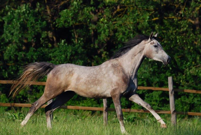 Download Grey arabian horse stock photo. Image of nature, equine - 10538904