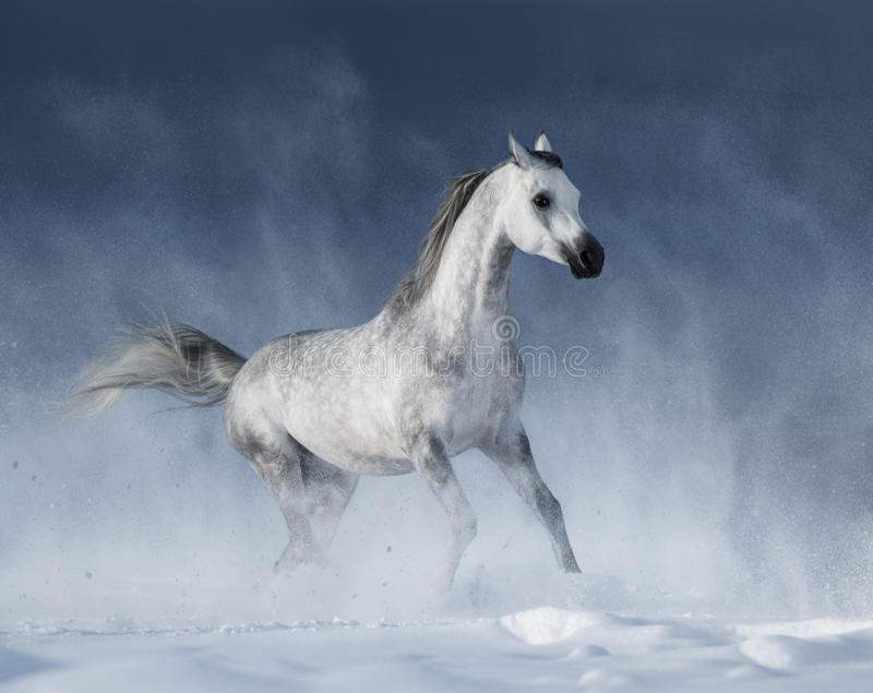 Grey arabian horse galloping during a snowstorm stock image