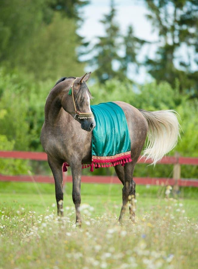Grey arabian horse in national arabic harness. The grey arabian horse in national arabic harness royalty free stock photo