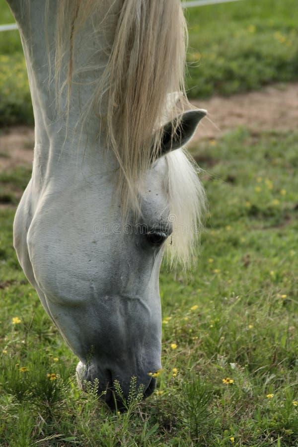 Grey Arabian Stallion grazing royalty free stock image