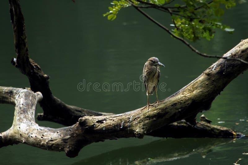 Grey Asian Heron sätta sig på en stor träträdfilial, Induia fotografering för bildbyråer