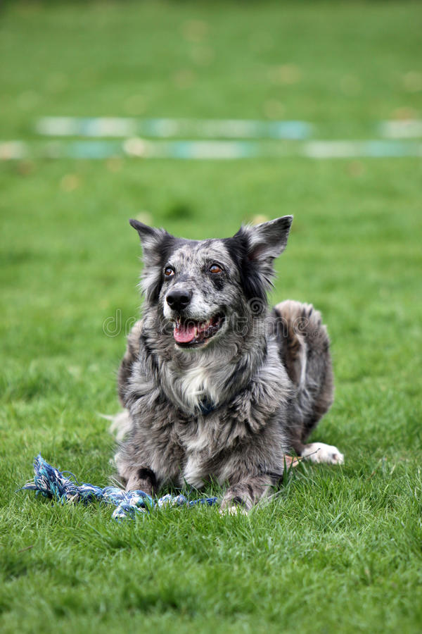 Grey Australian-Shepherd-mix dog. An Grey Australian Shepherd-mix dog stock images
