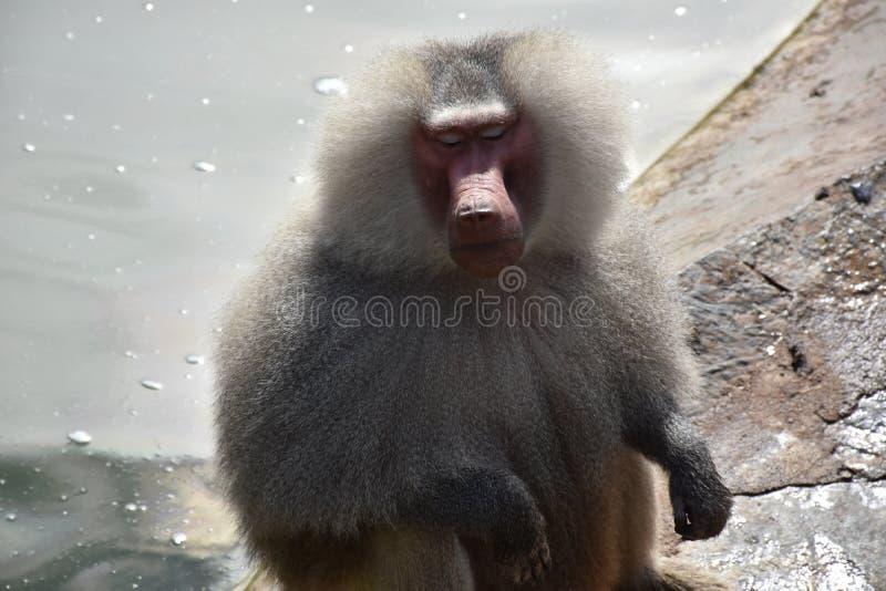 Grey Baboon royalty-vrije stock afbeelding