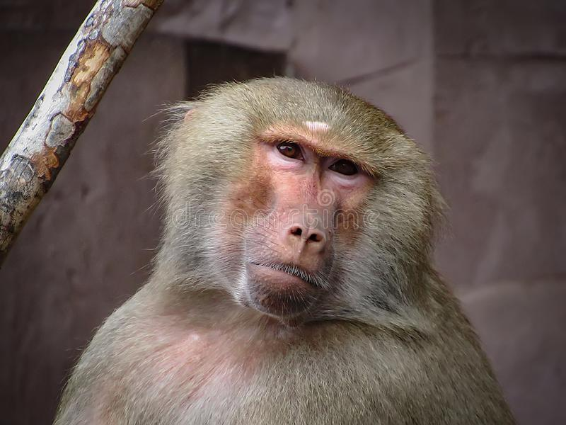 Curious Looking Grey Baboon. A grey baboon with a curious looking stock photography