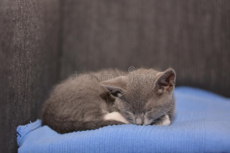 Grey baby cat stock photography