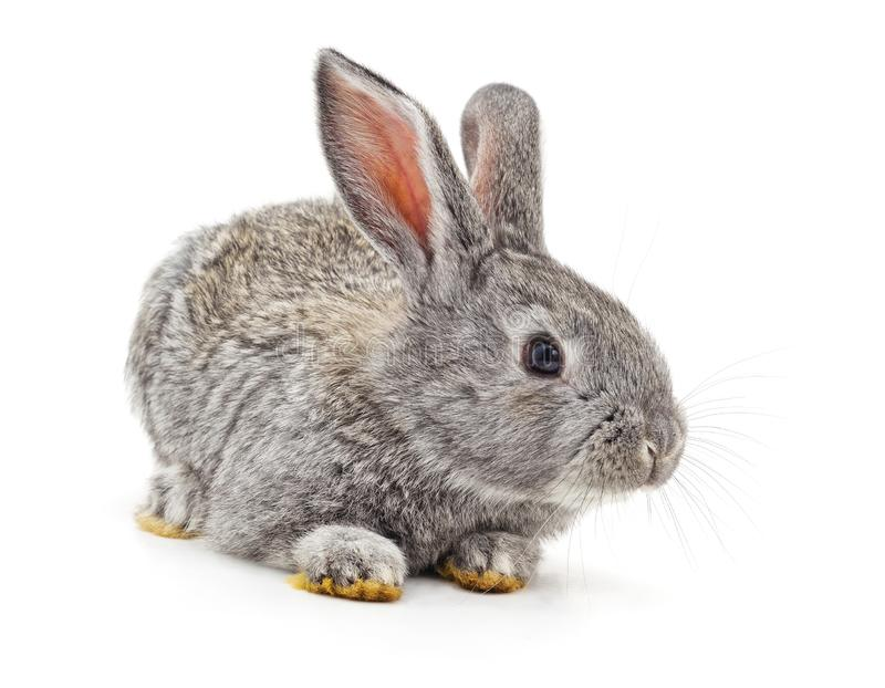 Grey baby rabbit. Isolated on a white background royalty free stock image