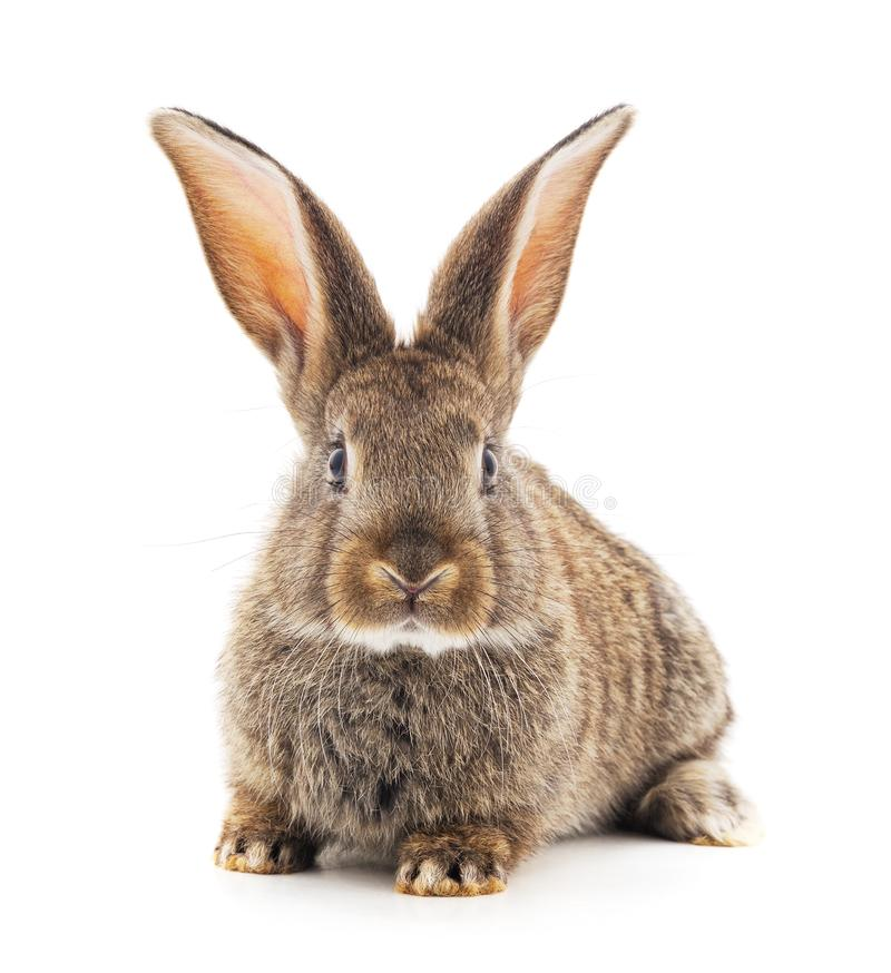 Grey baby rabbit. On a white background royalty free stock image