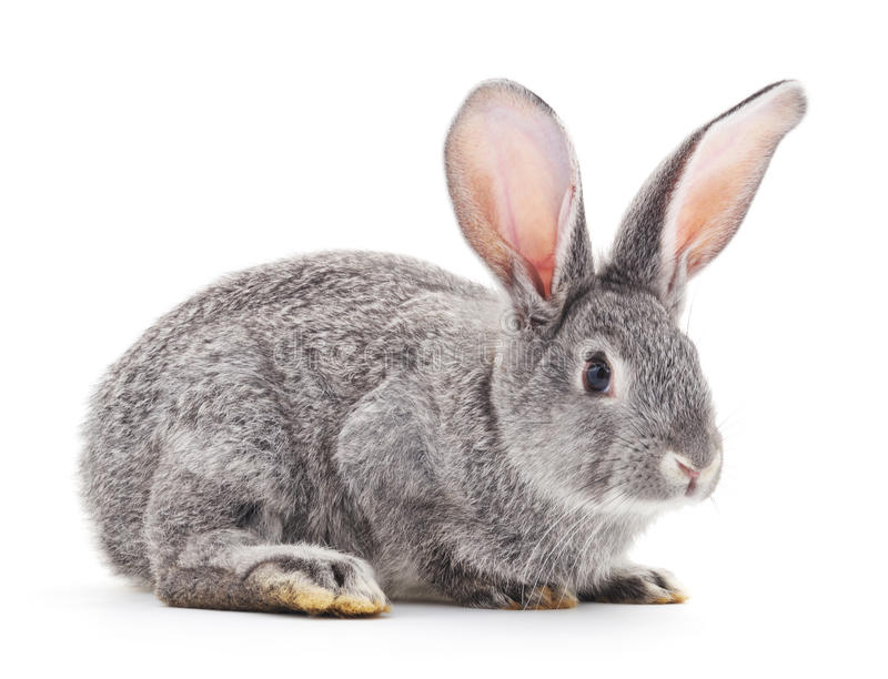Grey baby rabbit. Grey baby rabbit on a white background royalty free stock image
