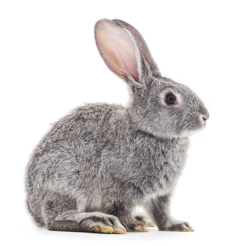 Grey baby rabbit. Grey baby rabbit on a white background royalty free stock images