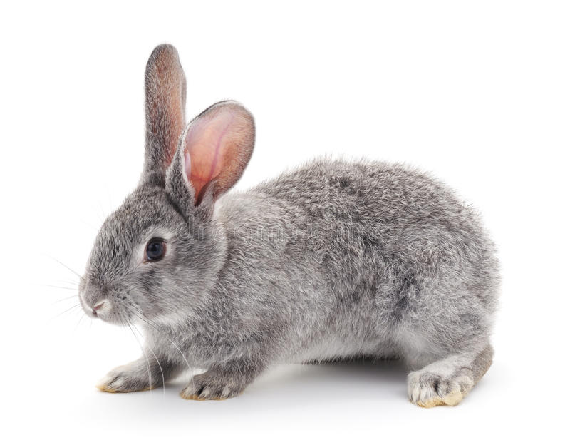 Grey baby rabbit. Grey baby rabbit on a white background stock image