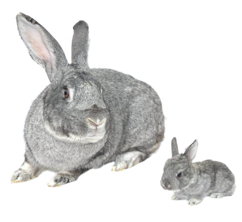 Grey big rabbit. On a white background stock image
