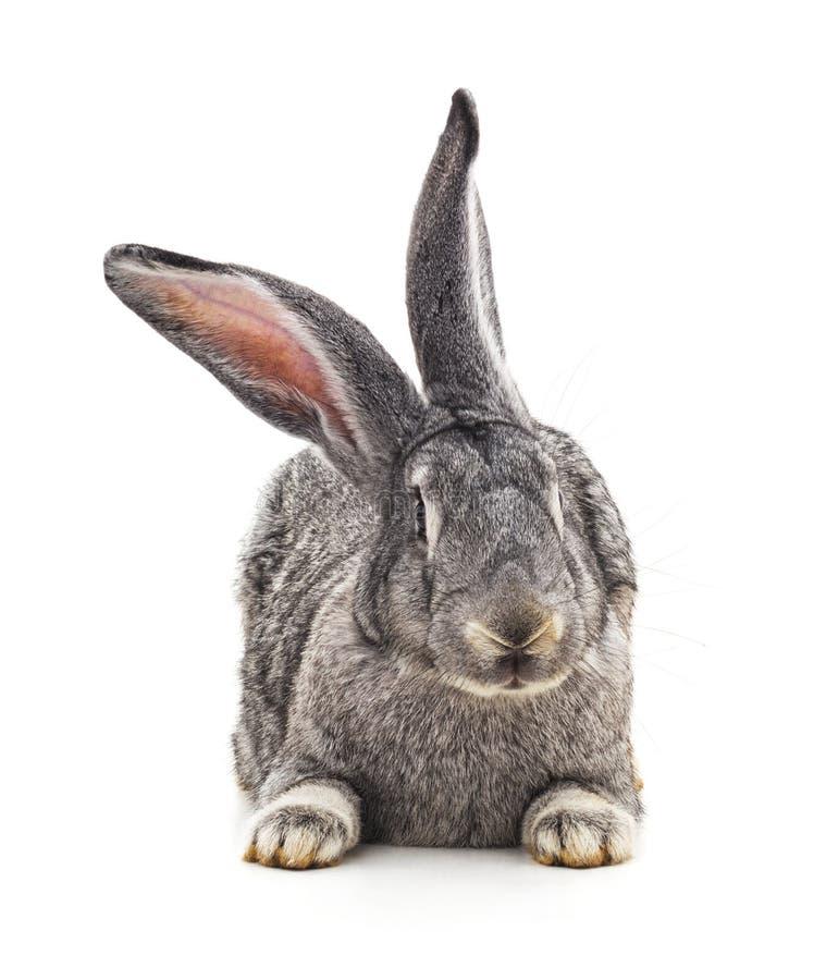 Grey big rabbit. On a white background royalty free stock image