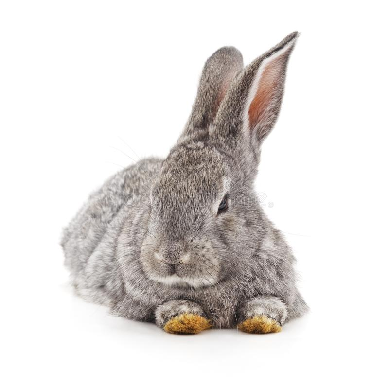 Grey big rabbit. On a white background stock photography