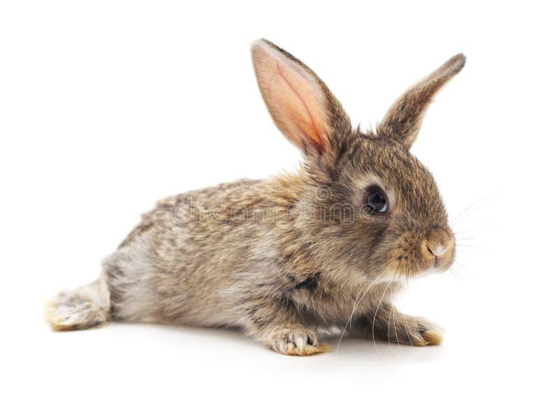 Grey big rabbit. On a white background royalty free stock photos