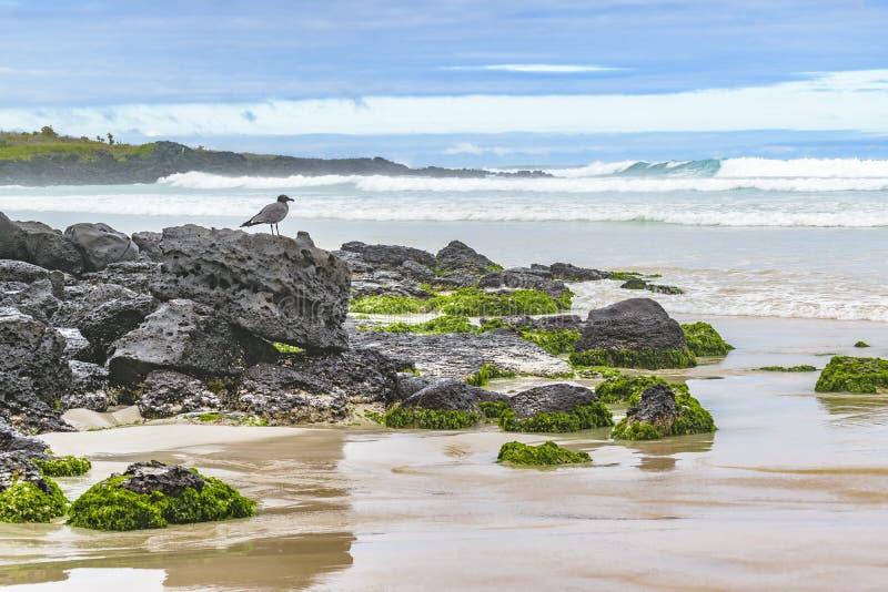 Grey Bird aux roches à la plage, Galapagos, Equateur image libre de droits
