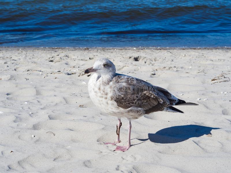 Grey bird seagull sitting by the beach. Seagull portrait in front of the sea shore. Close up view of a grey bird seagull sitting by the beach stock images