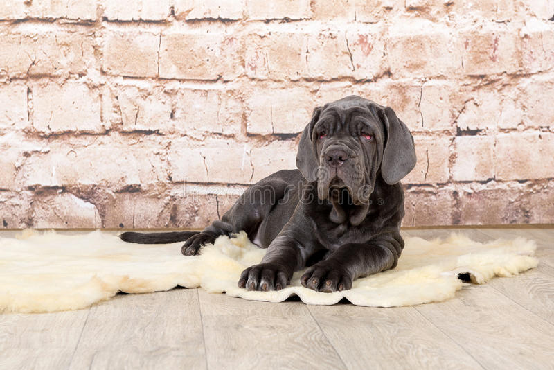 Grey, black and brown puppies breed Neapolitana Mastino. Dog handlers training dogs since childhood. stock photos
