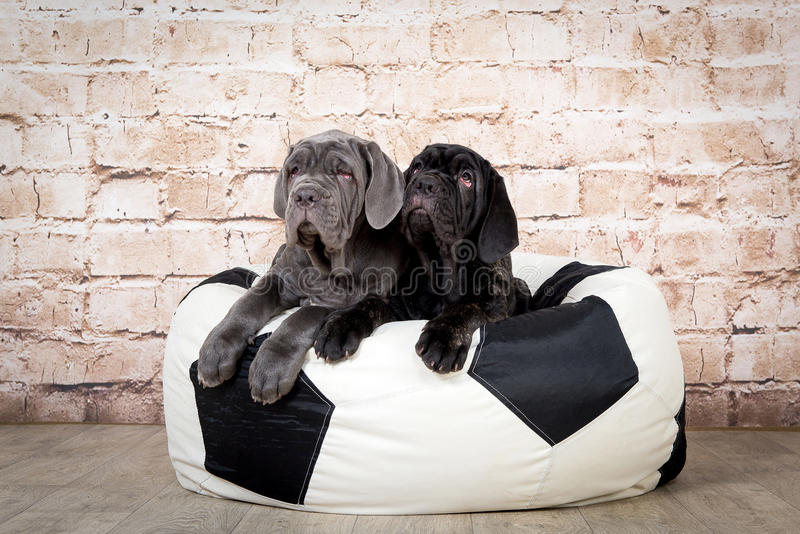 Grey, black and brown puppies breed Neapolitana Mastino. Dog handlers training dogs since childhood. royalty free stock photography