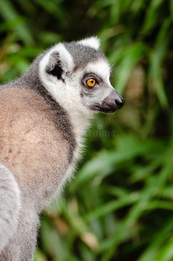 Grey and Black Fur Animal royalty free stock photography
